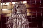 Grey Owl
